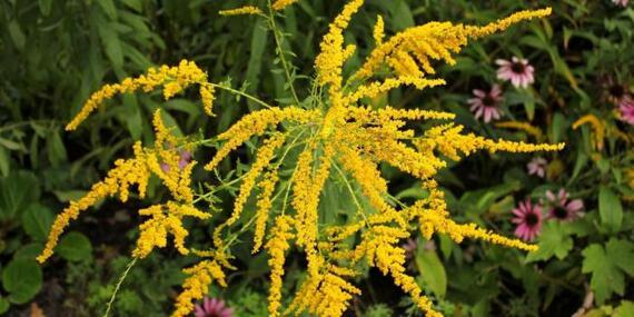 L'allergie au pollen d'ambroisie arrive !